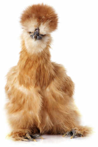 image of a fluffy brown silkie chicken confused as to why you aren't using the Hummingbook online booking system